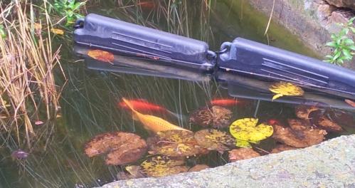 poissons en surface 22 déc 13.jpg