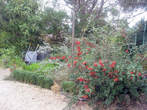 Vue massif cotoneaster 7 janv 14.jpg