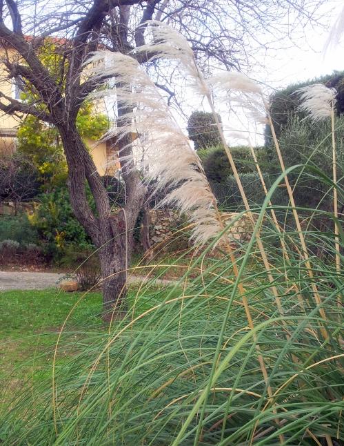 Pampa et Mimosa 10 janv 14.jpg
