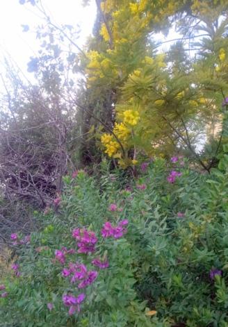 Polygala et mimosa 27 janv 14_web.jpg