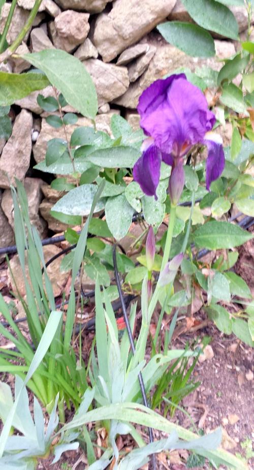 Iris violet 25 fev 14.jpg