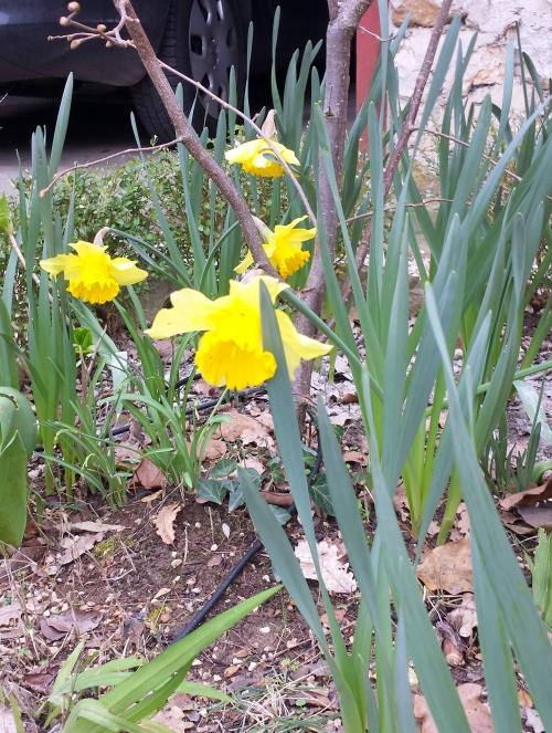 Narcisses 27 fév 14.jpg