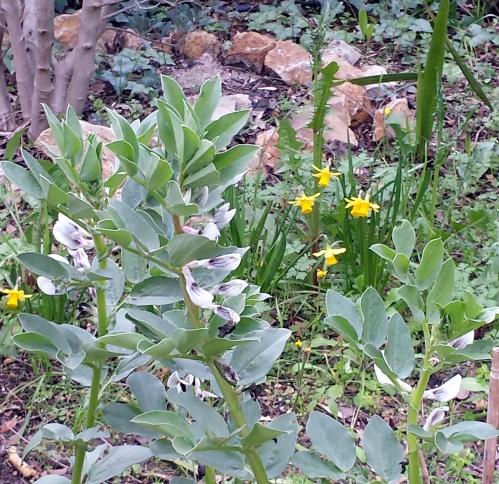 Floraison de fèves avec narcisses 3 mars 14.jpg