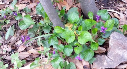 Floraison sauvage dans potager 3 mars 14.jpg