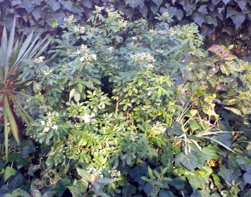 Acuba oranger mexique lierre et yucca 18 mars 14.jpg