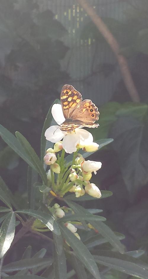 Papillon butiant 6 avr 14.jpg