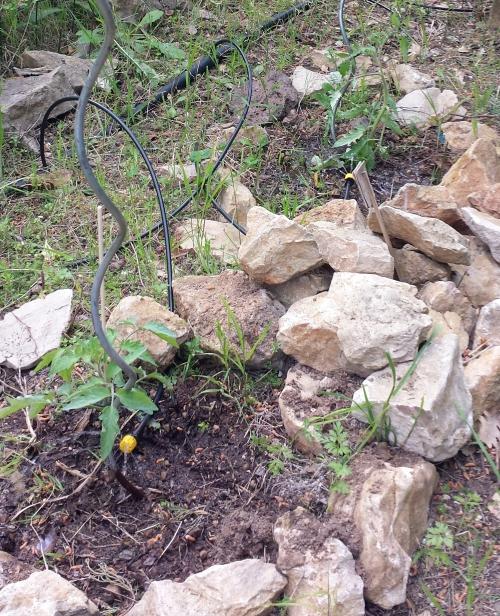 1ers plants de tomates 1er avr 14.jpg