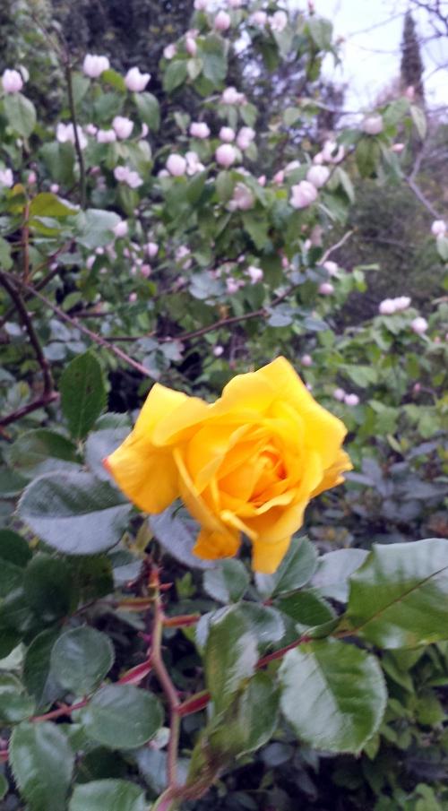 Rose jaune et cognassier 28 mars 14.jpg