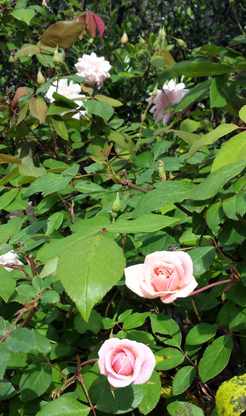 roses rose 11 avr 14.jpg