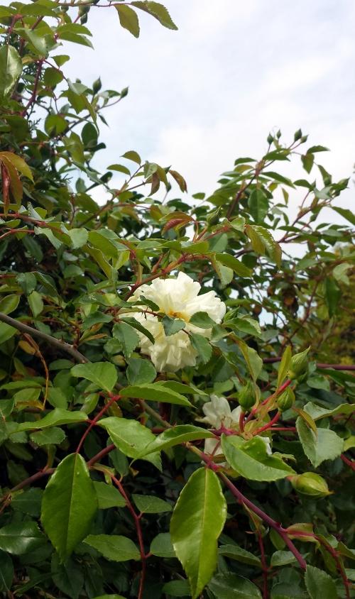 Roses dans haie tuyas 11 avr 14.jpg