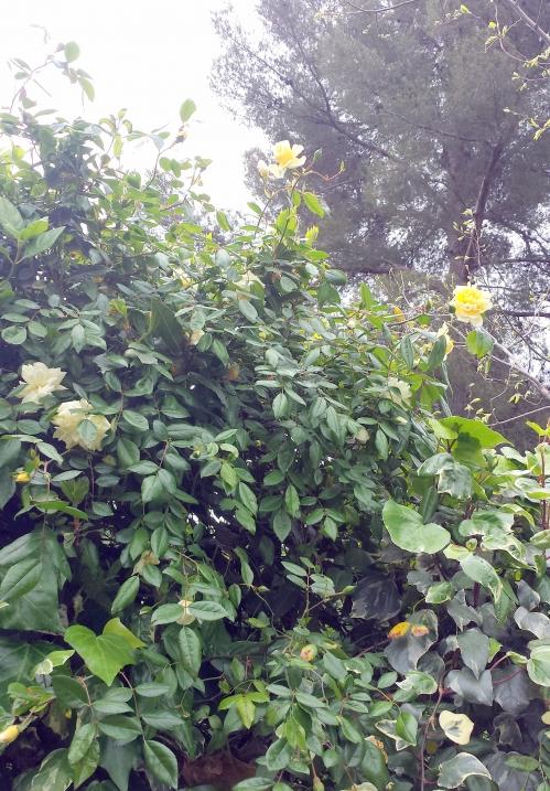 roses et lierre 18 avr 14.jpg