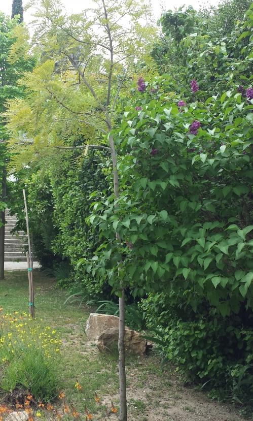 Lilas et bulbineas haie arbres 18 avr 14.jpg
