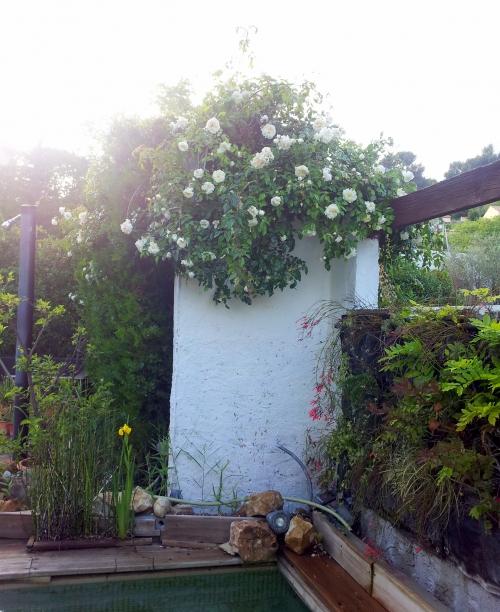 Mur végétal et rosier 2 mai 14.jpg