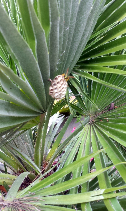 Essaim palmier 11 mai 14.jpg
