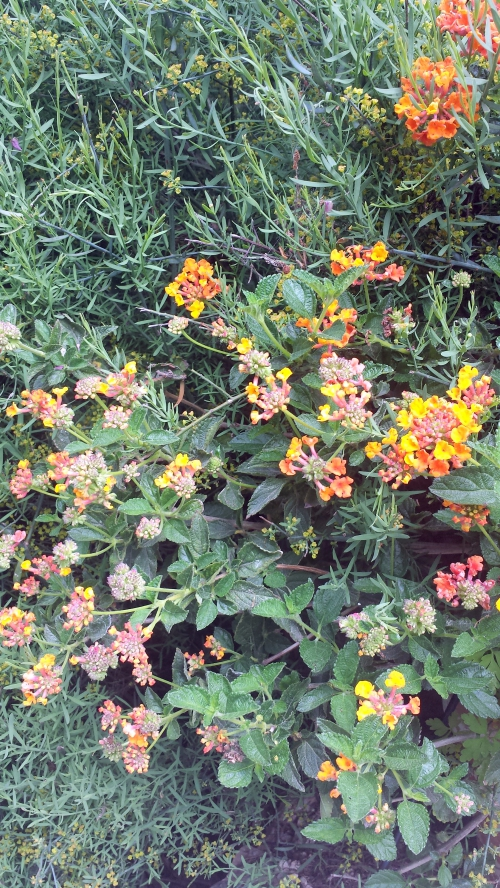1ères floraisons lantana 25 avr 14.jpg