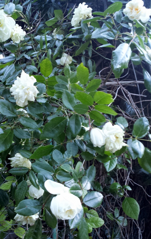 Roses blanches 28 avr 14.jpg