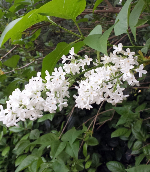 lilas blanc 11 avr 14.jpg