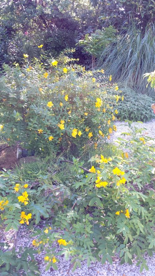 Cassia et millepertuis 30 mai 14.jpg