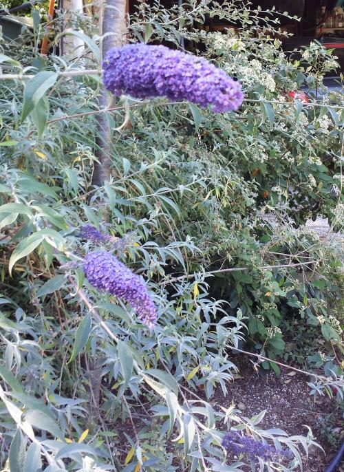 Arbre aux papillons en fleurs 30 mai 14.jpg