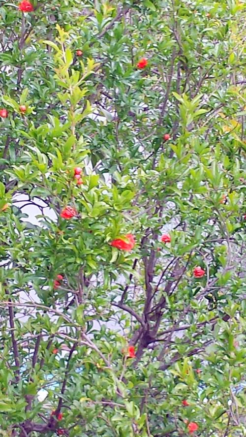 Grenadier en fleurs 31 mai 14.jpg