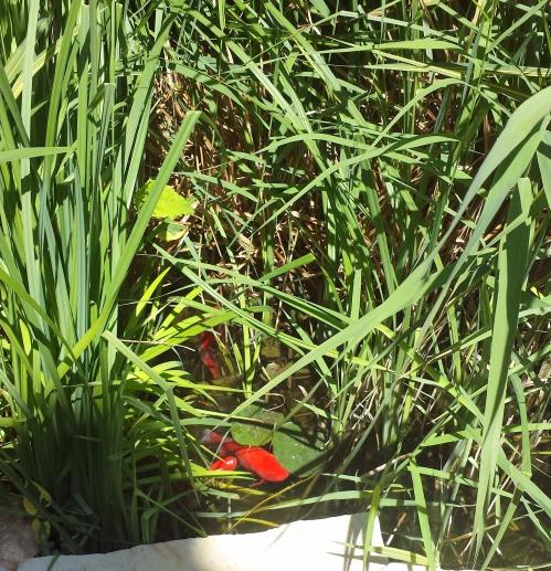 Poissons rouge et phragmites haut 3 juin 14.jpg