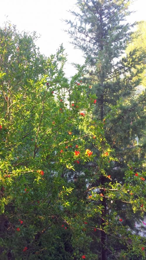 Grenadier en fleurs et cyprès avec perspective vue 10 juin 14.jpg