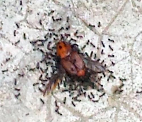 Charançon mangé par fourmi 15 juin 14.jpg