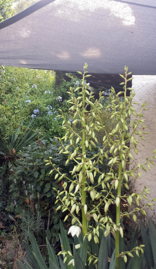 Floraison yucca sur fond plumbago 18 juil14.jpg