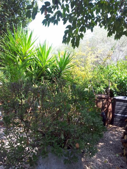 Début de floraison des pyracanthas 11 août 14.jpg