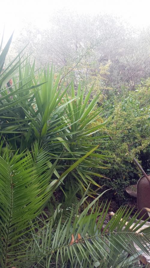 Début floraison pyracanthas massif exotique 2 août 14.jpg