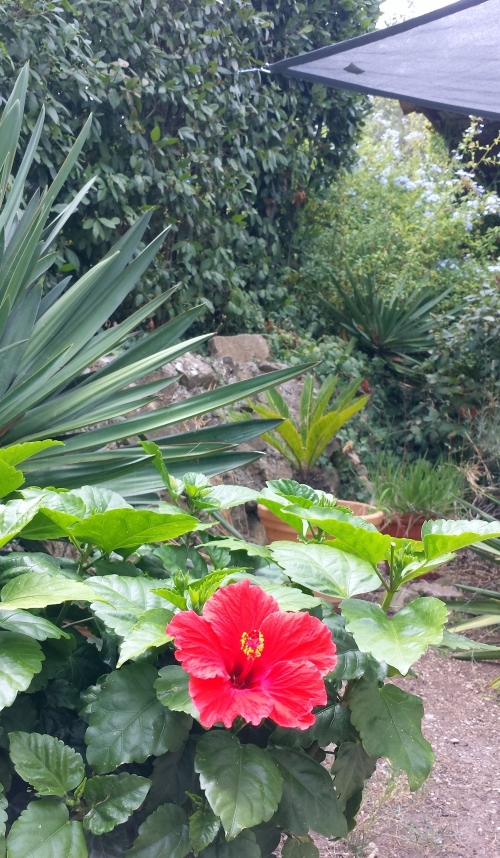 Hibiscus et plumbago 22 août 14.jpg
