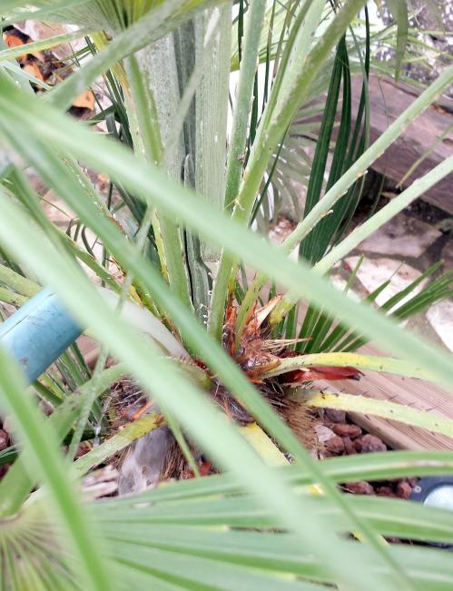 Nématode coeur de palmier 15 sept 14.jpg