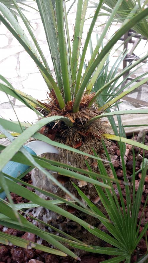 Dispersion nématodes tronc palmier 15 sept 14.jpg