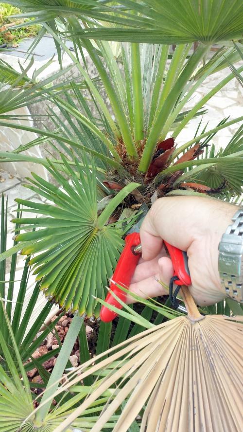 Coupe palme sèche palmier 14 sept 14.jpg