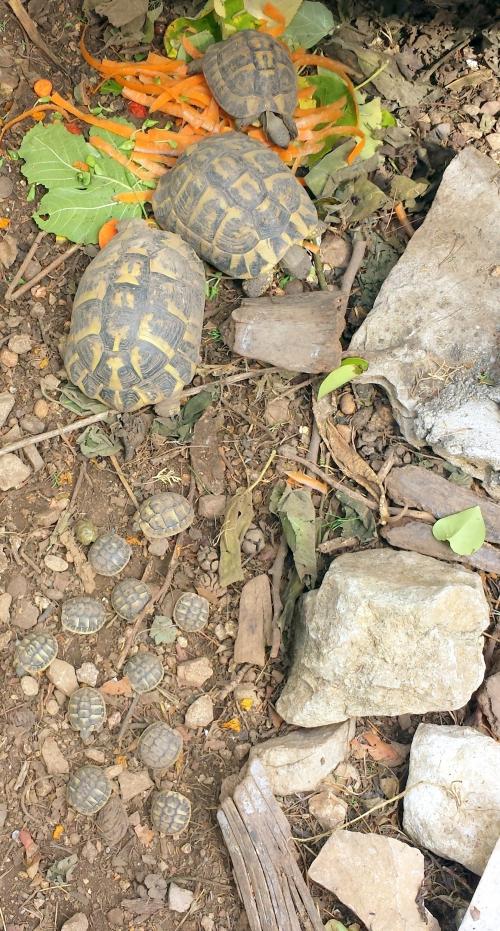 11 bébéés tortues 21 sept 14.jpg