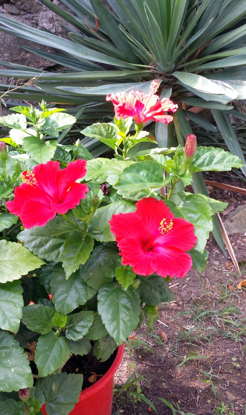Hibiscus 7 sept 14.jpg