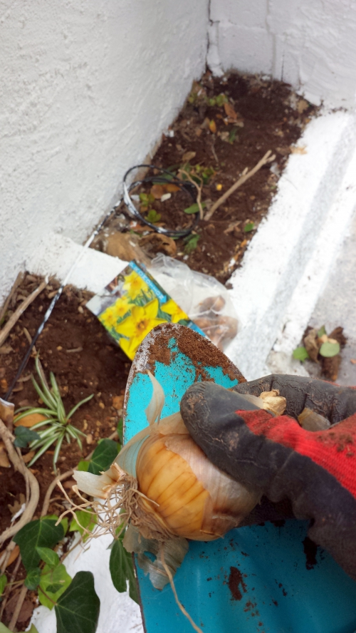 Plantation bulbes dans jardinière 21 sept 14.jpg