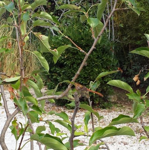 libellule pommier 12 oct 14.jpg