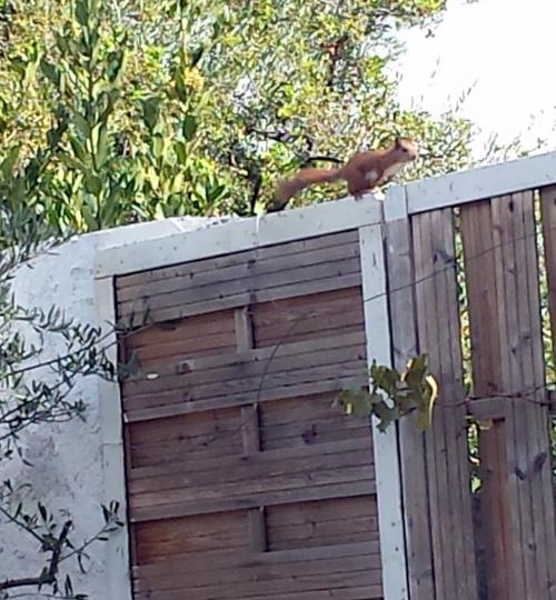 Raffraichissement terminé pour l'écureuil 21 oct 14.jpg