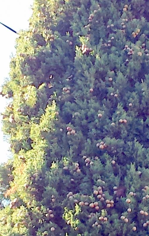Zoom écurreuil dans cyprès 24 oct 14.jpg