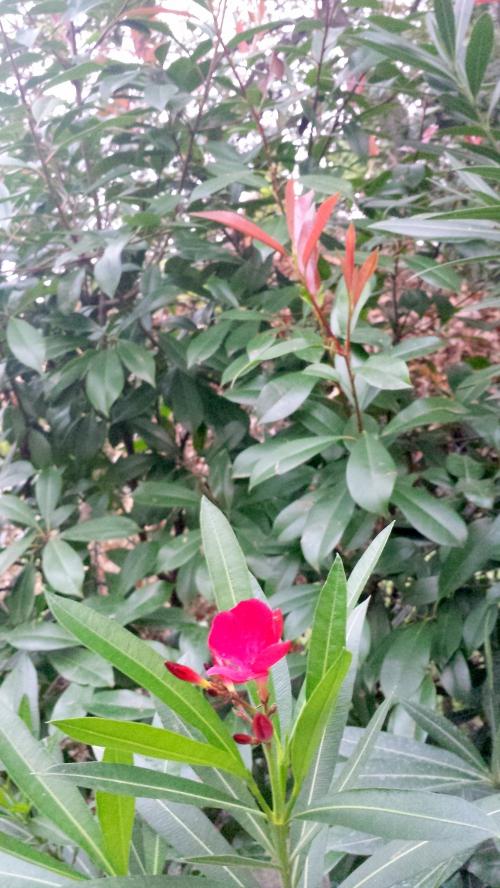 laurier rose 31 oct 14.jpg