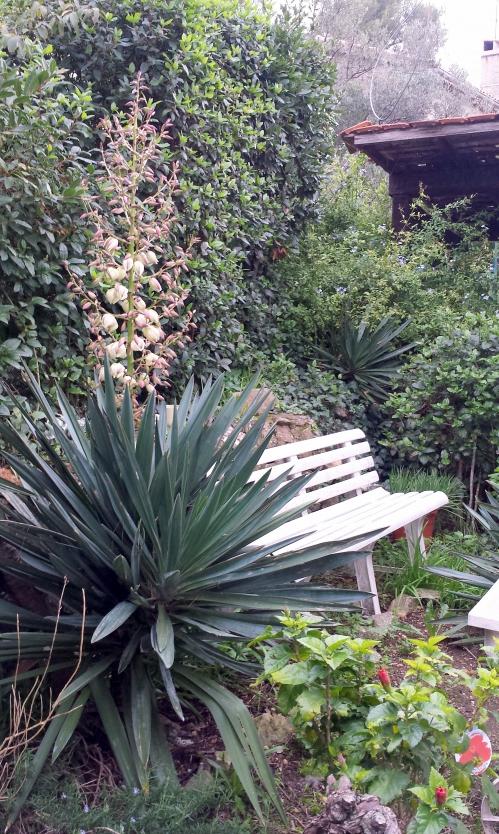 Hibiscus pyracanthas et yuccas 21 nov 14.jpg