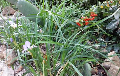 Iris d'Alger et pyracanthas 21 dec 14.jpg