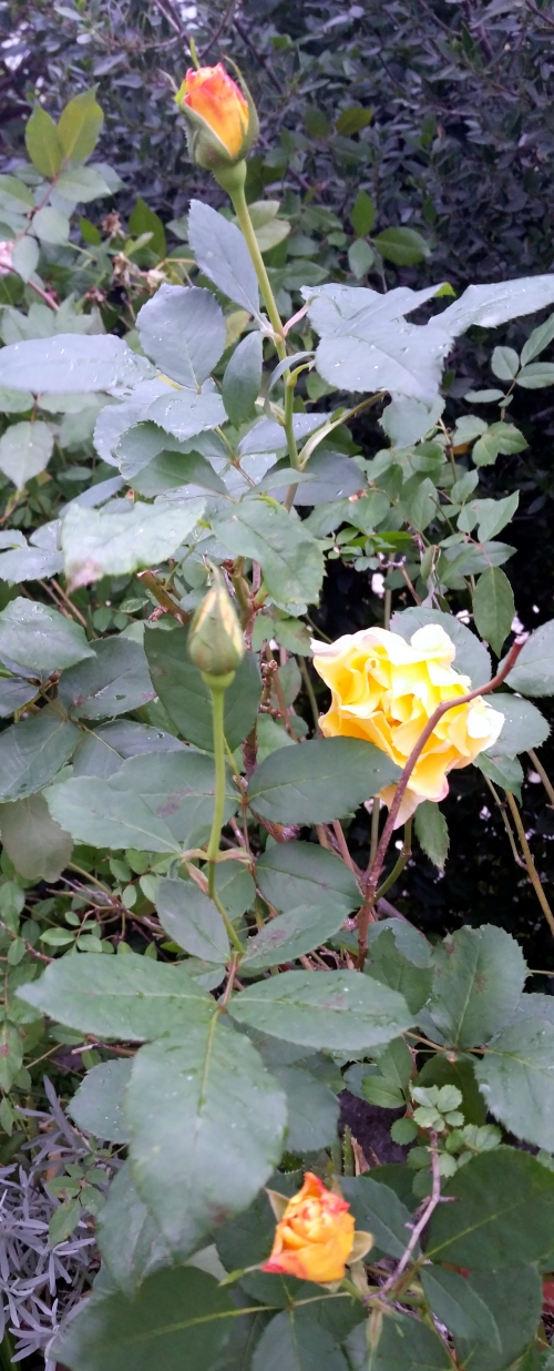 roses C. Deneuve en boutons 28 nov 14.jpg