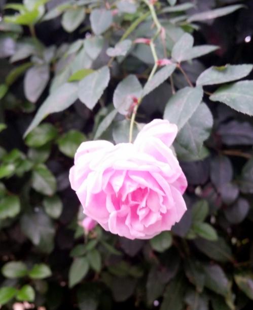 rose rose 30 nov 14.jpg