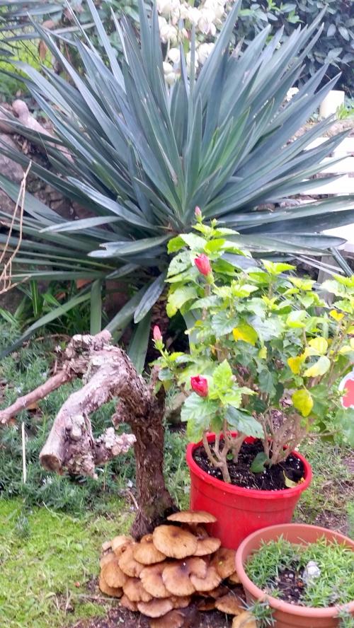 Hibiscus hampe yucca et hibiscus 28 nov 14.jpg
