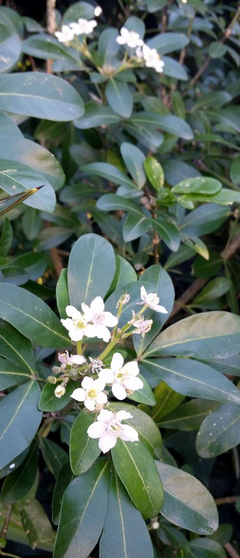 Floraison Oranger du Mexique 7 janv 15.jpg