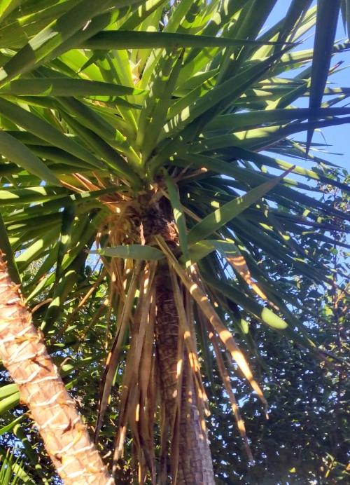 Exemple yucca chargé de feuilles sèches 17 janv 15.jpg