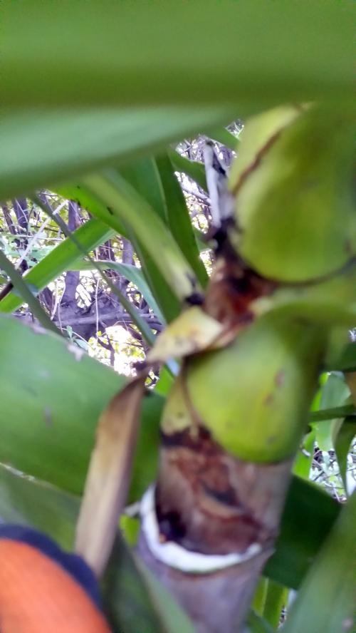Exemple arrachage feuille yuccas 17 janv 15.jpg