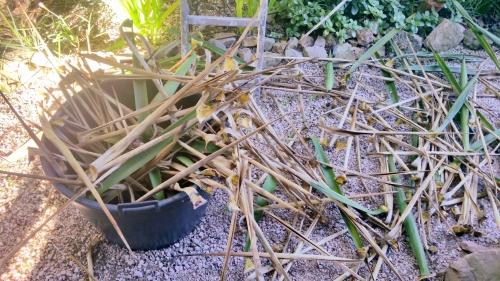Palmes yuccas arrachées 17 janv 15.jpg